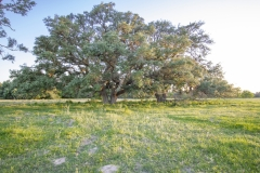 Coleto-Lake-72-Huge-Oak-2