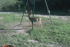 Drop Tine Buck 2