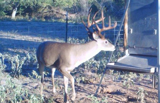 buck at feeder